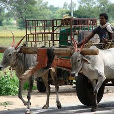How the growing cow protectionism can hurt cattle (especially male) in India