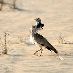 To keep rich Arab nations happy, Pakistan is letting them kill houbara bustards for sport