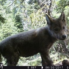 Pack of grey wolves that went extinct in 1924 spotted in Northern California