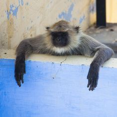 Jodhpur's langurs in real time on National Geographic's 'Earth Live'