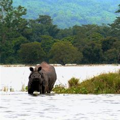 Three rhinos at Kaziranga National Park killed by poachers in 48 hours
