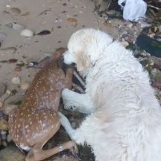 Watch: A golden retriever bravely rescued a baby deer from drowning. But it didn't end there