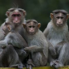 South India is losing its endemic bonnet monkey to an aggressive invader from the north