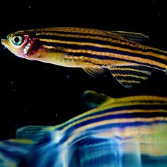 Watch: Zebrafish get addicted to drugs just like humans and can help researchers work on remedies
