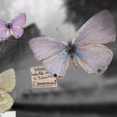 Watch: Vladimir Nabokov's first love was butterflies, which he collected on road trips across USA