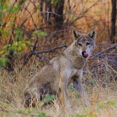 In our love for the tiger, are we losing the soul of the Deccan grasslands – the Indian grey wolf?