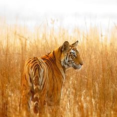 Kazakhstan plans to reintroduce wild tigers with help from the World Wildlife Fund