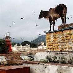No matter how many cows gau rakshaks save (if any), cows in India might die of starvation