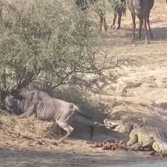 Watch: It's war in the animal kingdom as two hippos save a wildebeest from a crocodile