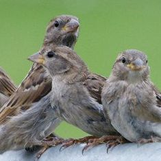 With love and some cardboard, villages in Assam are helping save the house sparrow