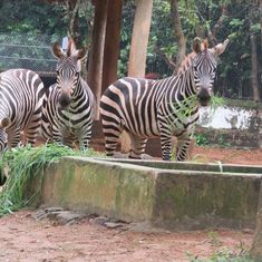 Odisha: Sole zebra at Nandankanan Zoological Park found dead