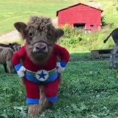 Watch: This calf grew up to believe he's a dog, and nothing could be more adorable