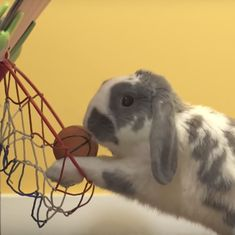 Videos: Multi-talented Bini the bunny just broke the world record for slam-dunking basketballs