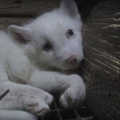 Animal cruelty watch: Baby foxes imprisoned in tiny cages and electrocuted for their fur