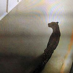 Leopard that entered Maruti Suzuki plant in Manesar rescued after 36-hour joint operation