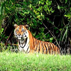Counting on smartphones: India's tiger census to go digital in 2018