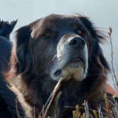 Watch how the world's only kea conservation dog finds New Zealand's endangered alpine parrots