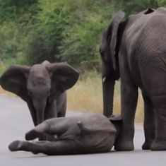 Watch: When an elephant calf decided it wanted to take a nap...in the middle of the road