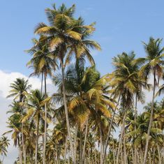 Indian farmers are planting coconuts in deserts to create an oasis of livelihood opportunities