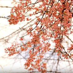 Watch: India is all set to have its very own beautiful cherry blossom festival
