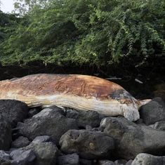 Mumbai: Carcass of 40-ft whale washes ashore near Colaba in two parts