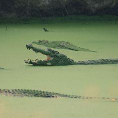 'Idiots of the century': Officials mock four men who swam into a crocodile trap in Australia