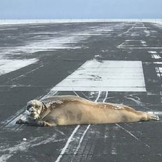 Watch: A sunbathing seal on a runway brought an entire airport to a halt
