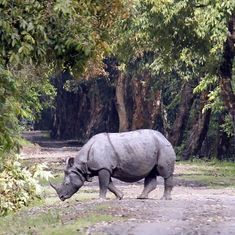 Poachers kill rhinoceros in Assam's Kaziranga National Park, flee with horn