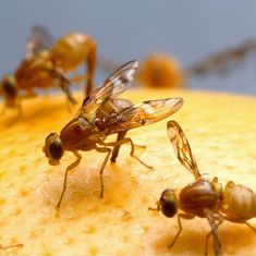 Watch: How the humble fruit fly has helped scientists pick up six Nobel Prizes