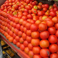 Tomato prices soar across country after crop damage in Madhya Pradesh, Karnataka