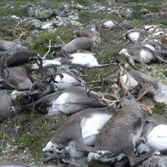 Norway: Over 100 reindeer mowed down by freight trains in four days, says state broadcaster