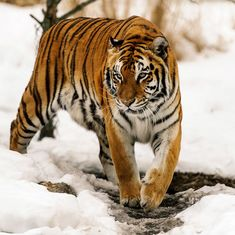 Photos: How tigers adapted to thrive in dissimilar corners of the world