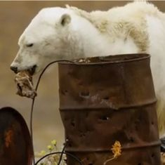 Watch: A starving polar bear scrounging for food is one of the saddest things you'll see
