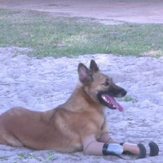 Watch: A dog whose paws were cruelly hacked off  is a happy 'blade runner' now