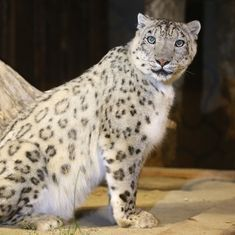 Snow leopards spotted in China's eastern Tibet for the first time, says report