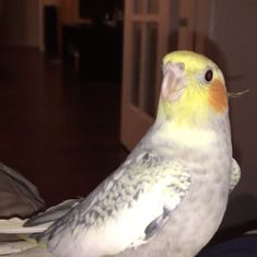 Watch: This pet bird breaks into a rendition of the iPhone ringtone whenever he is upset
