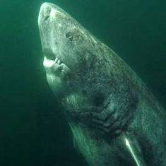 Video: The secret life of the Greenland shark, the oldest living vertebrate on the planet