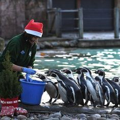 Watch this adorable video of animals celebrating Christmas at a London zoo