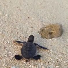 Watch: A baby turtle fends for itself as it journeys to the sea after being born