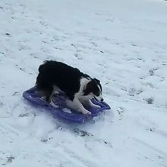 Watch: This dog needs no human help to go sledding in the snow