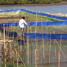 Maharashtra is encouraging fisherfolk to conserve mangroves by introducing lucrative crab farming
