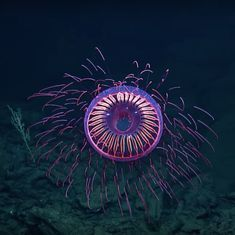 Caught on camera: An extremely rare jellyfish that looks exactly like a firework