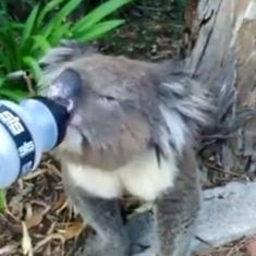 Watch: This cyclist stopped to give a drink of water to a thirsty koala bear on a hot day
