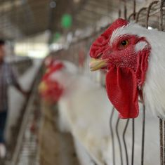 Chickens in India are dosed with a very strong drug used to treat critically ill patients: Study