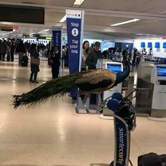 Watch: A passenger was deeply anguished when her peacock was refused entry on a flight