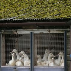 Avian flu kills 230 birds on Netherlands farm, over 37,000 culled