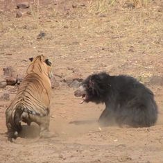 Watch: A tiger and a mother bear face off in an encounter in Maharashtra's Tadoba National Park