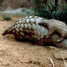 'Alarming' levels of pangolin poaching in India point to need for a systematic study on the species