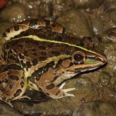 A bullfrog invasion in the Andamans is threatening biodiversity