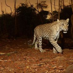 Video: How a group of wildlife enthusiasts helped capture a rogue leopard in Mumbai's Aarey colony